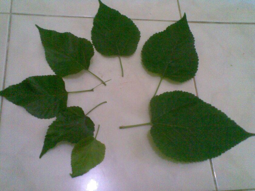 Ambil daun dgn berbagai ukuran
