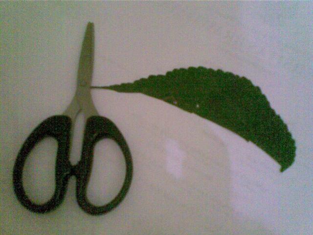 Untuk membentuk ombak Pakai gunting untk ambil sisi luar daun bergerigi