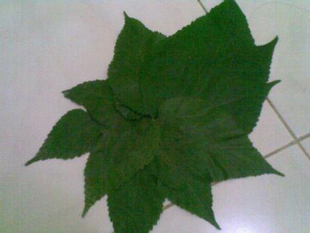 Susun daun melingkar di tengah, untuk mendapatakan jiplakan bentuk matahari