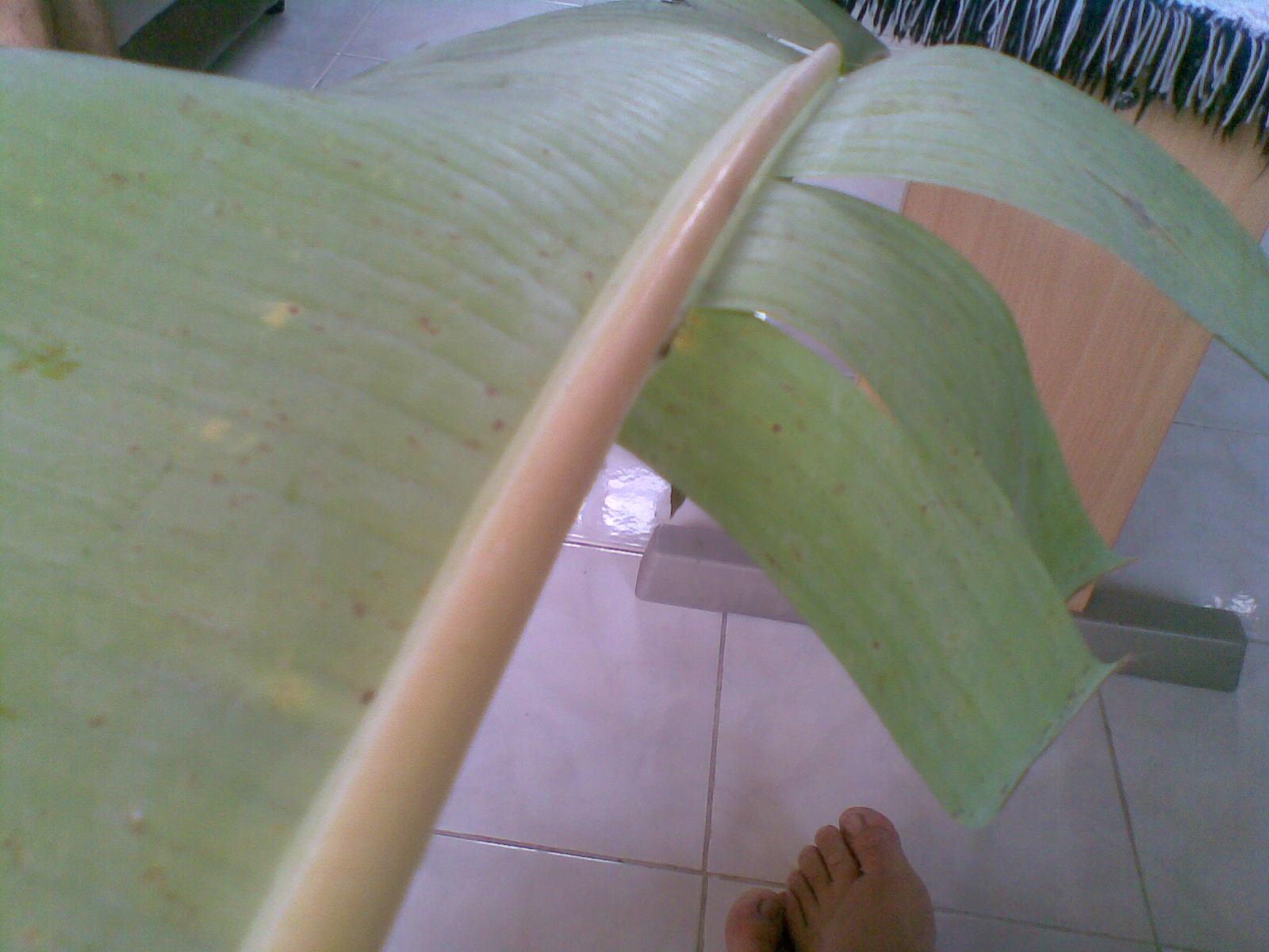 Ambillah tulang daun pisang yang tengah, pilih yang bagian terbawah